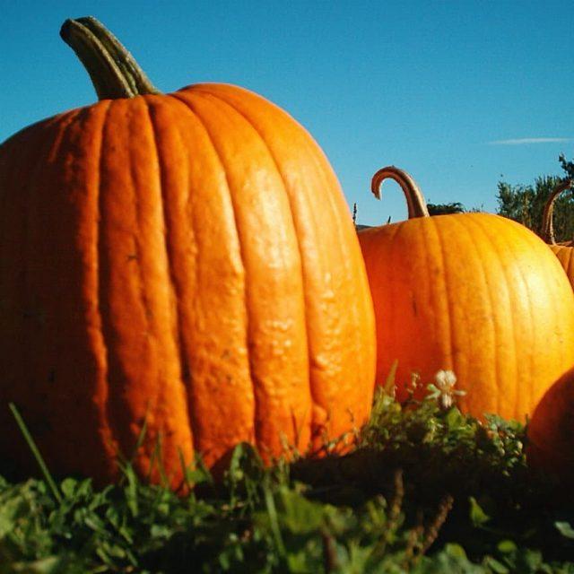Halloween pumpkin trail