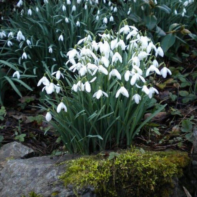 Plas Cadnant Hidden Gardens open for Snowdrops and Winter Planting