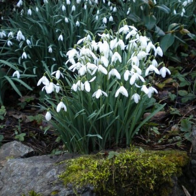 Plas Cadnant Hidden Gardens open for Snowdrops and Winter Planting